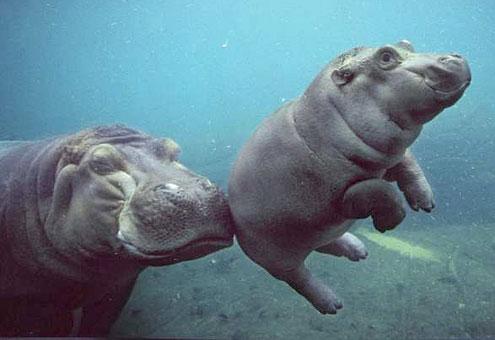 Hippo Mum