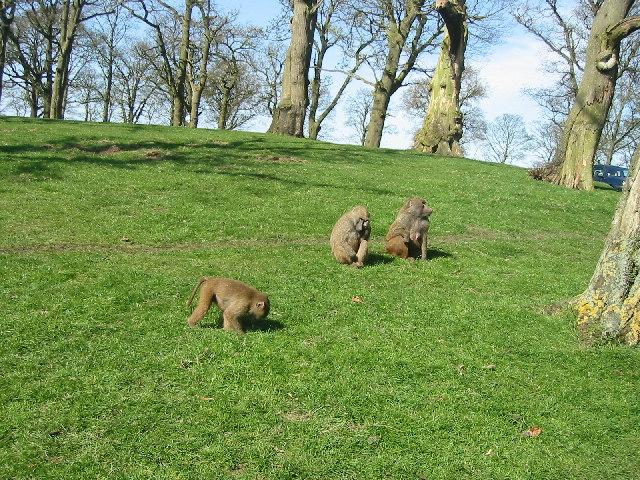 Baboons_Knowsley_Safari_Park