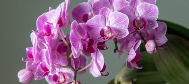 Orchids Flower Delivery: What Orchids Mean in Different Places