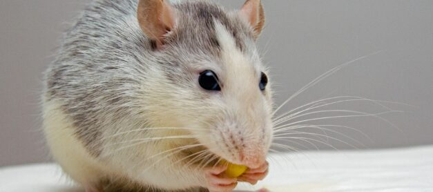 Keeping Your Family Safe from Rodents