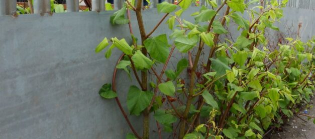 My Neighbour Has Japanese Knotweed – What Can I Do?